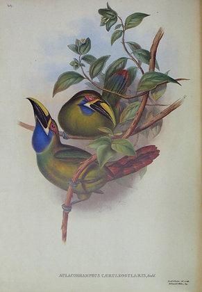 Plate 049: Aulacoramphus Albivitta
