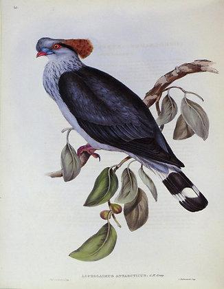 Plate 561: Lopholaimus Antarticus