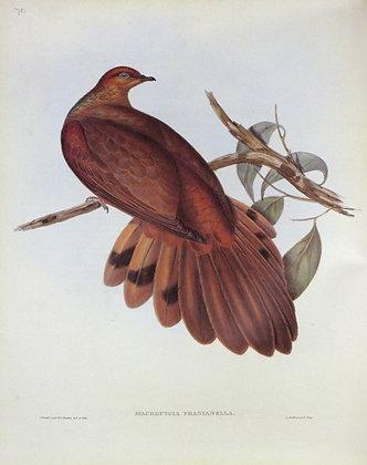Plate 575: Macropygia Phasianella