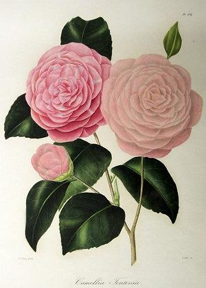 Camellia Teutonia