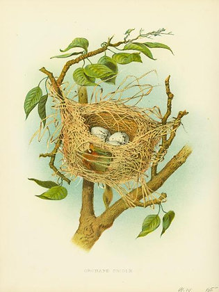 Plate 04: Orchard Oriole