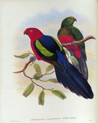 Plate 509: Aprosmictus Callopterus