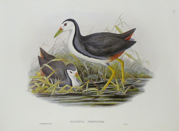 Plate 767: Gallinula Phoenicura