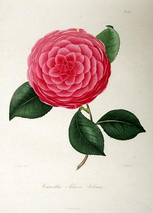 Camellia Adrien Lebrun