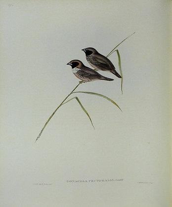 Plate 395: Donacola Pectoralis