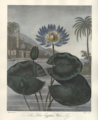Plate 14: The Blue Egyptian Water-Lily