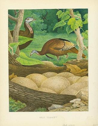 Plate 37: Wild Turkey