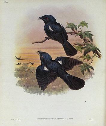 Plate 150: Chaetorhynchus Papuensis