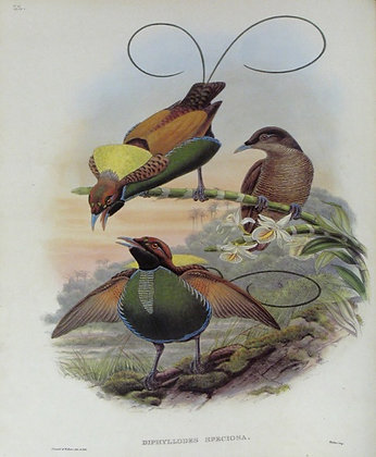 Plate 122: Diphyllodes Speciosa