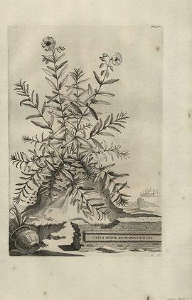 Plate 043: Cistus minor rosmarinifolius