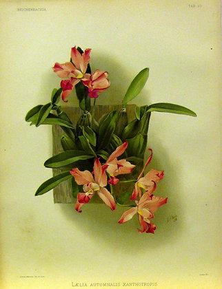 Plate 010: L?lia autumnalis xanthotropis