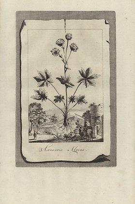 Plate 111: Astrantia Alpina