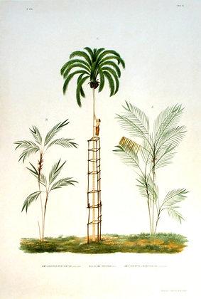 Plate 251: Amylocarpus Pectinatus, Guilielma
