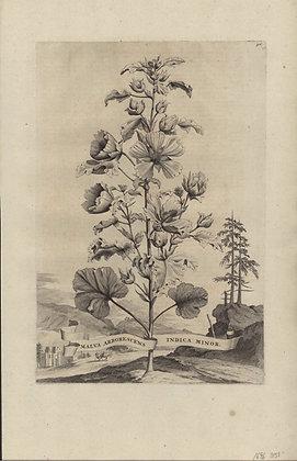 Plate 098: Malva arborescens Indica minor