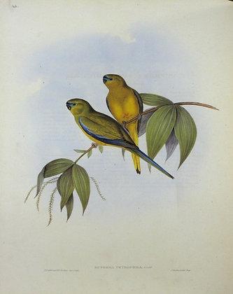 Plate 540: Euphema Petrophila