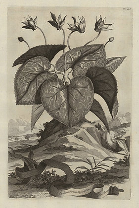 Plate 151: Cyclamen vernum majus flore albo odorat