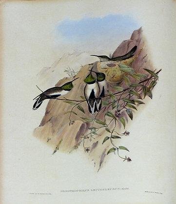 Plate 071: Oreotrochilus Leucopleurus