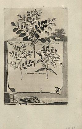 Plate 058: Indigofera rotundifolia