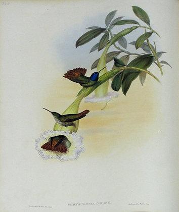 Plate 325: Chrysuronia Cenone
