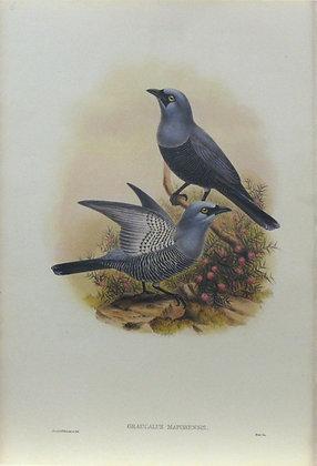Plate 206: Graucalus Maforensis