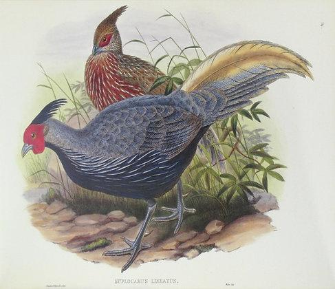 Plate 714: Euplocamus Linatus