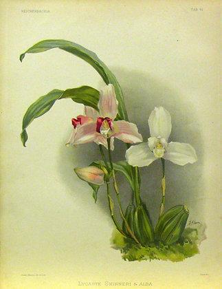 Plate 041: Lycaste skinneri & alba
