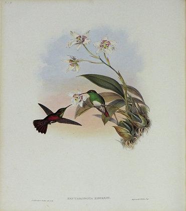 Plate 318: Erythronota Edwardi