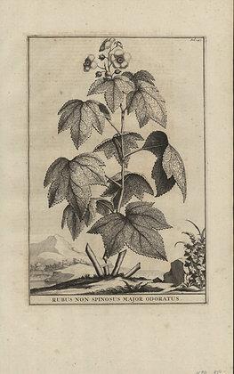Plate 061: Rubus non spinosus major odoratus