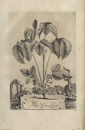 Plate 060: Vitis Canadensis