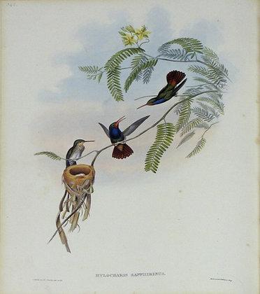Plate 342: Hylocharis Sapphirina