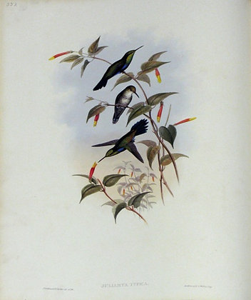 Plate 337: Juliamyia Typica