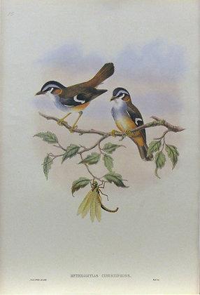 Plate 215: Heteromyias Cinereifrons
