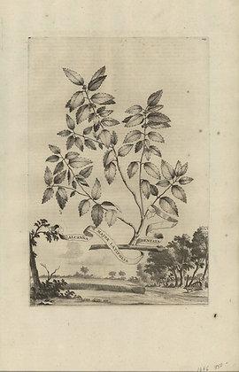 Plate 051: Alcanna major latifolia dentata