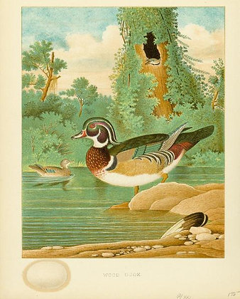 Plate 21: Wood Duck