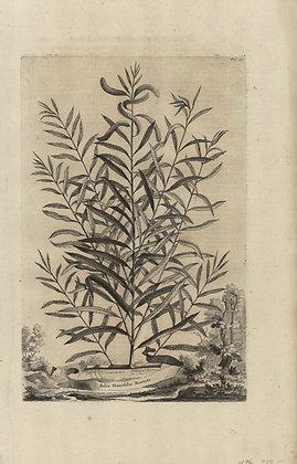 Plate 012: Salix tenuifolia dentata