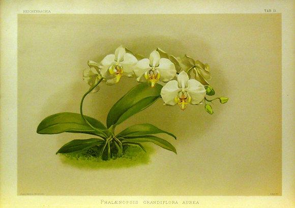 Plate 011: Phalaenopsis grandiflora aurea