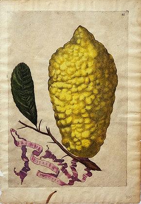 Plate 61: Malum Citreum Vulgare
