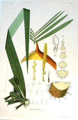 Plate 283: Acrocomia Erioacantha
