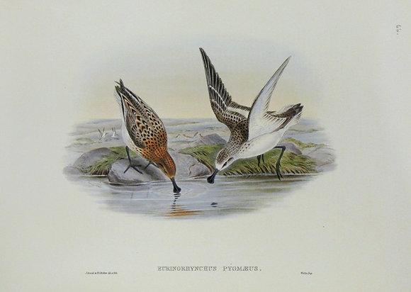 Plate 766: Eurinorhynchus Pygmaeus