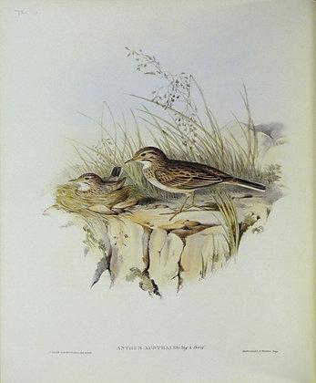 Plate 373: Anthus Australis