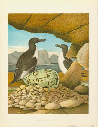 Plate 17: Razor-billed Auk