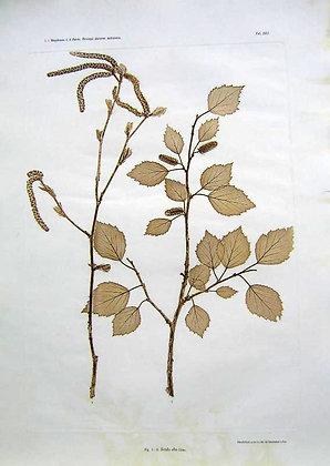 Plate 209: Salix Grandifolia