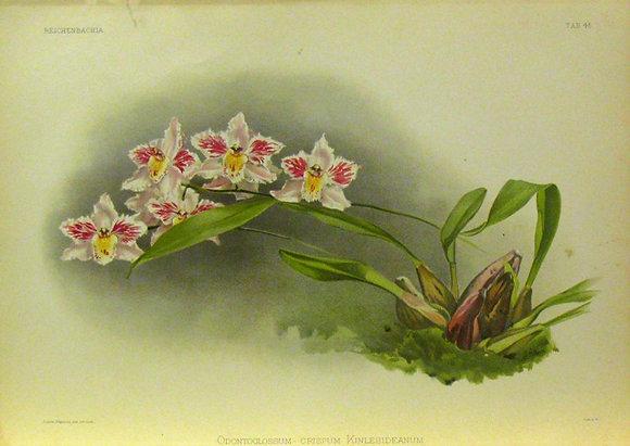 Plate 045: Odontoglossum crispum Kinlesideanum
