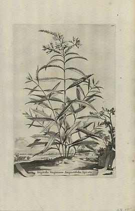 Plate 153: Digitalis Virginiana angustifolia spica