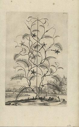 Plate 139: Convolvulus Indicus pennatus