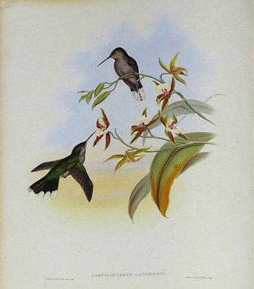 Plate 048: Campylopterus Latipennis