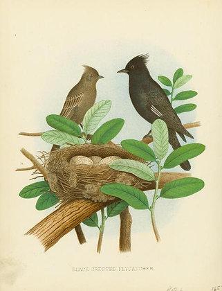 Plate 50: Black-crested Flycatcher