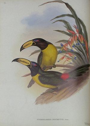 Plate 023: Pteroglossus Inscriptus