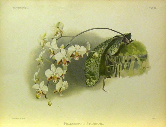 Plate 042: Phalaenopsis stuartiana