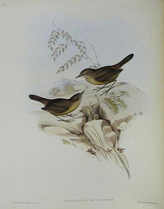 Plate 347: Sericornis Humilis